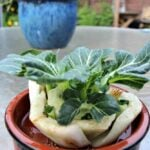 How To Re Grow Bok Choy